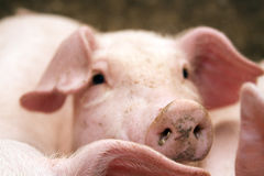 конюшня свиньи Стоковая Фотография RF