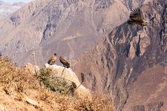 Кондоры каньона Colca Стоковая Фотография RF