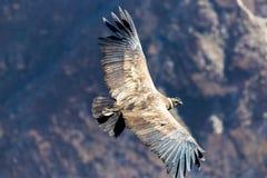 Кондор летания над каньоном Colca, Перу, Южной Америкой. Этот кондор самая большая летящая птица Стоковые Фотографии RF