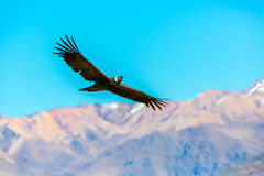 Кондор летания над каньоном Colca, Перу, Южной Америкой. Этот кондор самая большая летящая птица Стоковые Изображения