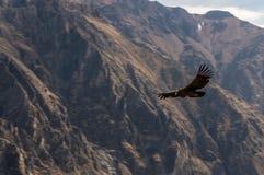 Кондор каньона Colca Стоковые Изображения
