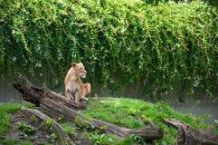 КОПЕНГАГЕН, ДАНИЯ - август 2017: Женский лев на зоопарке Копенгагена стоковая фотография rf