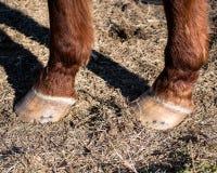 2 копыта ` s лошадей закрывают вверх Стоковое Фото