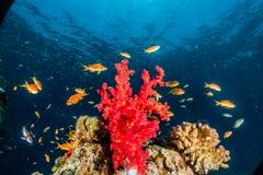 Коралловые рифы и водоросли в Красном Море, красочный и полный других цветов стоковое фото rf