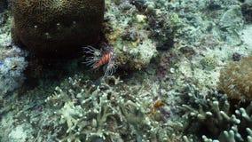Коралловый риф и тропические рыбы, крылатка-зебра philippines Стоковые Изображения RF