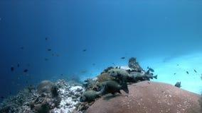 Коралловый риф с арлекином Sweetlips и зеленой морской черепахой 4k видеоматериал