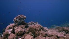 Коралловый риф с мягкими кораллами и множество удят Anthias и луциан 4k горба акции видеоматериалы