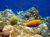 коралловый риф тропический Стоковые Изображения