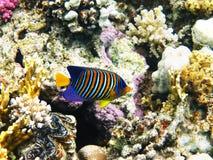 коралловый риф angelfish королевский Стоковые Изображения RF