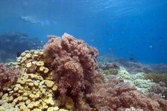 кораллы мягкие Стоковое Фото