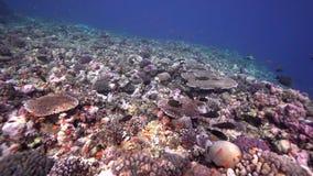 Кораллы Biautiful с подводным Красным Морем Суданом lituratus Naso солнечного света и unicornfish Orangespine сток-видео