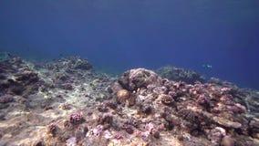 Кораллы Biautiful с подводным солнечным светом и гигантским Красным Морем Суданом мурены сток-видео