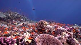 Кораллы Biautiful с подводным солнечным светом и попугаем удят Красное Море Судан акции видеоматериалы