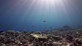 Кораллы Biautiful с подводным солнечным светом и попугаем удят Красное Море Судан сток-видео