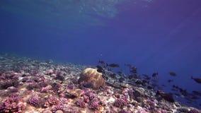 Кораллы Biautiful с подводным солнечным светом и черным gahhm Acanthurus surgeonfish в Красном Море Судане сток-видео