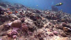Кораллы Biautiful с подводным lituratus Naso солнечного света и unicornfish Orangespine в Красном Море Судане Shaab Rumi сток-видео