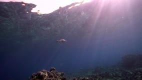 Кораллы Biautiful с подводным microdon Lethrinus солнечного света и императора Smalltooth в Красном Море Судане акции видеоматериалы