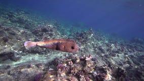 Кораллы Biautiful с подводным reticulatus Chilomycterus солнечного света и burrfish Spotfin в Красном Море Судане акции видеоматериалы