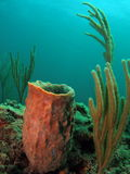 коралл бочонка Стоковое фото RF