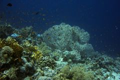 Коралл вентилятора моря Коралловый риф стоковая фотография