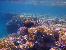 Коралл в Красном Море Стоковые Фото