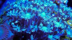Коралл голубого полипа гвоздичного дерева мягкий сток-видео