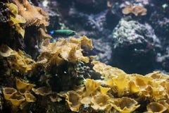 Коралл гриба Ricordea Yuma Ricordea в аквариуме стоковое фото