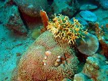 коралл каменистый Стоковые Фотографии RF