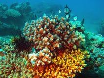 коралл каменистый Стоковые Фото