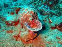 коралл каменистый Стоковые Изображения RF
