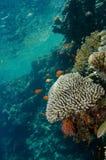 коралл колонии стоковое изображение rf