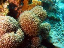 коралл мягкий Стоковые Изображения