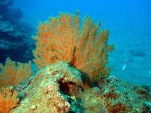 коралл мягкий Стоковое фото RF