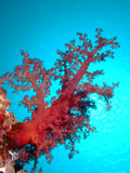 коралл мягкий Стоковые Изображения RF