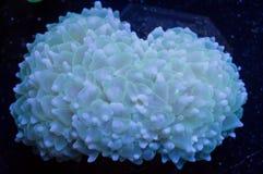 Коралл пузыря жемчуга Стоковая Фотография RF