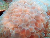 коралл пузыря Стоковые Изображения