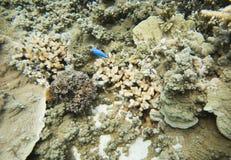 Коралл рифа и Damselfish голубого дьявола Стоковая Фотография RF
