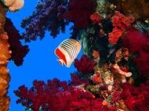 коралл Стоковая Фотография