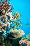 коралл Стоковое Изображение RF