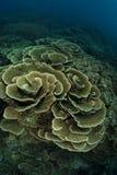 коралл Стоковое Изображение