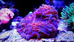 Коралл LPS мозга, hemprichii Lobophyllia Стоковые Фото