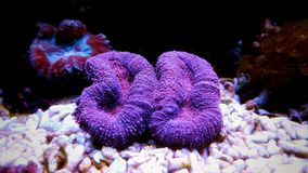 Коралл LPS мозга, hemprichii Lobophyllia Стоковое Изображение