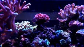 Коралл sps Stylophora в танке аквариума рифа Стоковые Изображения