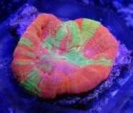 Коралл апельсина, зеленого цвета, желтых и розовых Scolymia Стоковое фото RF