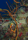 Коралл веревочки - Roatan, Гондурас Стоковые Фотографии RF