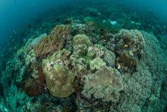 Коралл гриба кожаный, коралловый риф, ветреница в Ambon, фото Maluku Индонезии подводном Стоковая Фотография RF