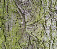 Кора дерева бука предусматриванная backgroun текстуры детали мха естественным Стоковое Изображение RF