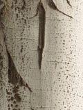 Кора дерева тополя как предпосылка Стоковая Фотография RF