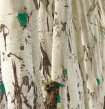 Кора дерева тополя как предпосылка Стоковые Фото