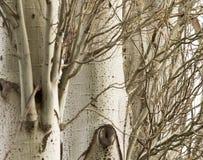 Кора дерева тополя как предпосылка Стоковое Фото